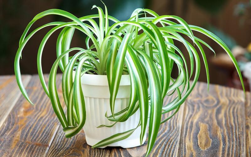 گل گندمی یا عنکبوتی(گیاهی با خاصیت تصفیه کنندگی هوا)