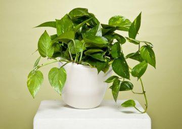 پتوس یکی از گیاهان سایه دوست و مقاوم آپارتمانی