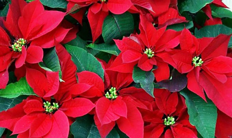 دلیل نام گذاری و شرایط نگهداری گل کریسمس یا بنت القنسول