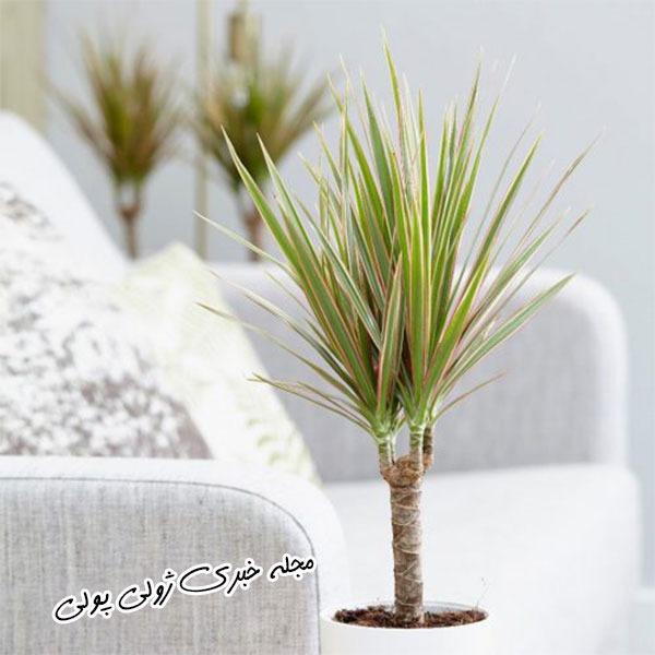 دراسنا گیاه تصفیه کننده هوا