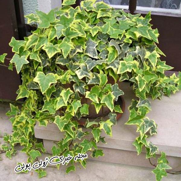 پاپیتال گیاه تصفیه کننده هوا