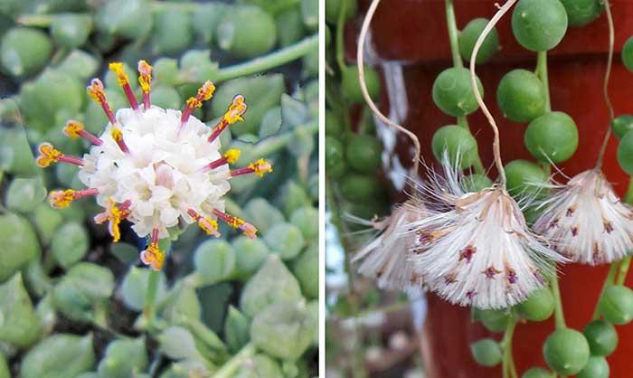 گل گیاه دانه غوره ای