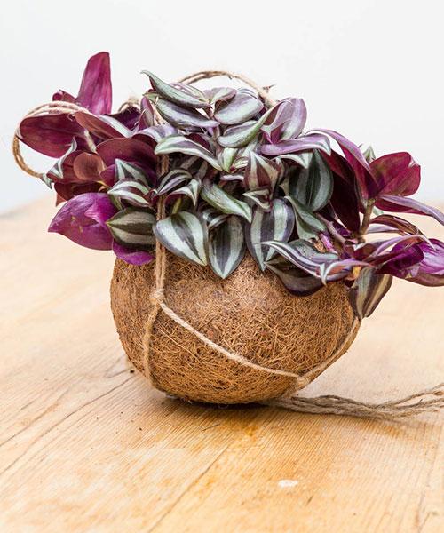 گیاه-زبرینا