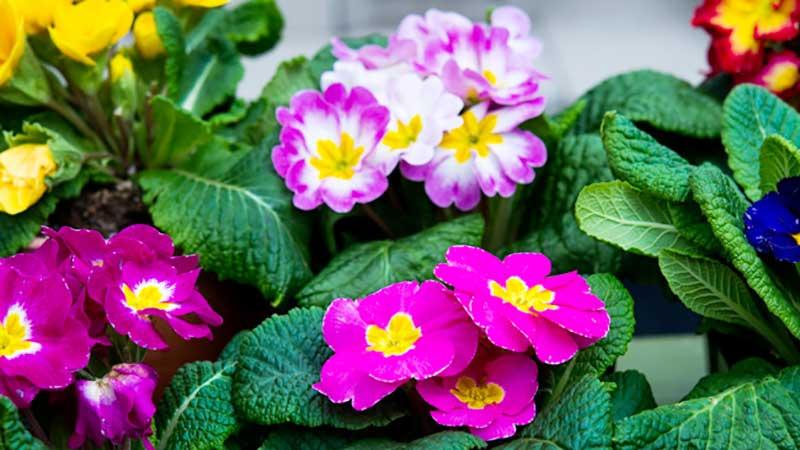 شرایط نگهداری گل پامچال