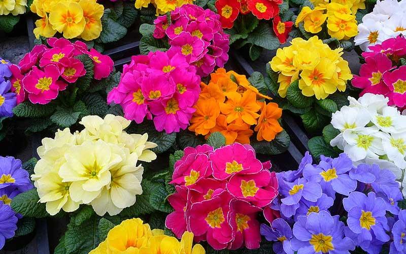 با گل پامچال به استقبال بهار بروید