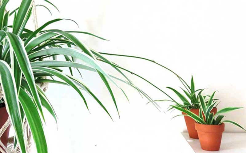 روش تکثیر گیاه گندمی
