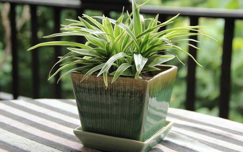 هشت دلیل برای نگهداری گل گندمی در خانه