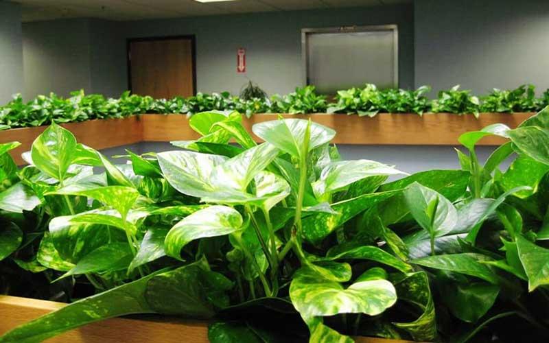 شرایط نگهداری گیاه آپارتمانی پتوس در خانه