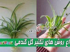 روش تکثیر گیاه آپارتمانی گل گندمی+ روش تکثیر گیاه گندمی در آب و خاک