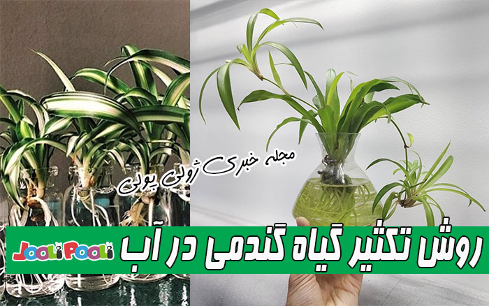 تکثیر گیاه گندمی در آب