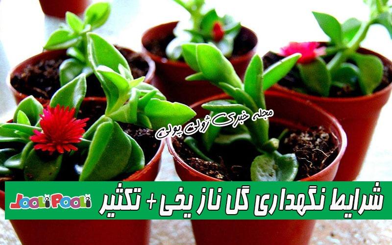 شرایط نگهداری گل ناز یخی+ نگهداری و تکثیر و قلمه زدن گیاه ناز یخی
