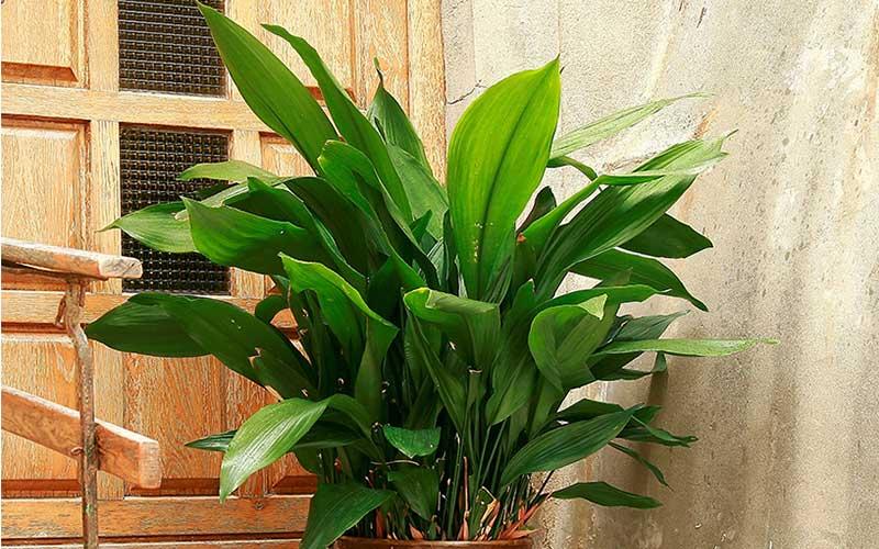شرایط نگهداری گیاه برگ عبایی یا گیاه فولادی