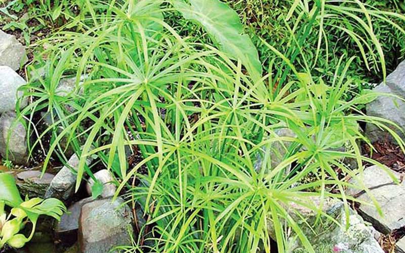 شرایط نگهداری گیاه گل مرداب یا پنجه کلاغی