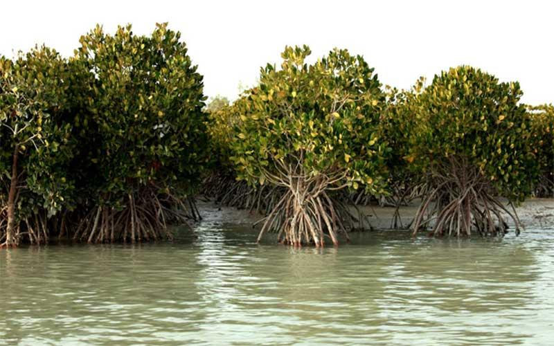 جنگل حرا طلای سبز در جزیره ی قشم