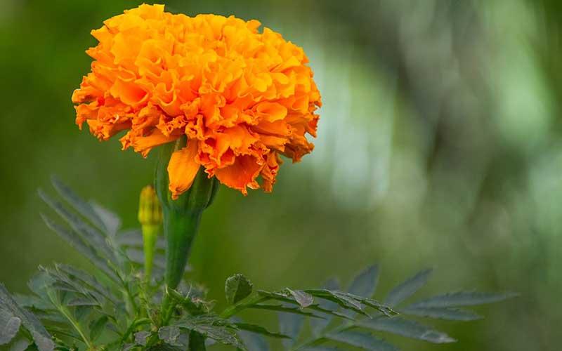 شرایط نگهداری و پرورش گل جعفری در گلدان و باغچه