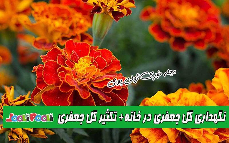 نگهداری گل جعفری در خانه و باغچه+ طرز تکثیر گل جعفری
