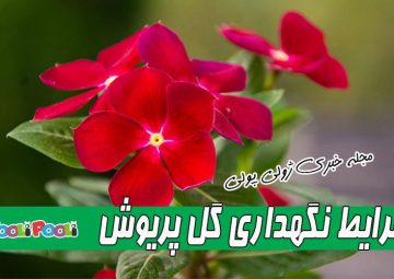 شرایط نگهداری گل پریوش+ تکثیر گل پریوش از طریق قلمه و بذر