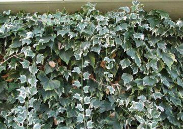 شرایط نگهداری پاپیتال، گیاهی با خاصیت تصفیه کنندگی هوا