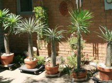 روش نگهداری نخل ماداگاسکار در خانه