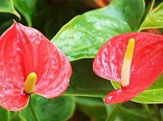 شرایط نگهداری گل آنتوریوم از گیاهان تصفیه کننده هوا