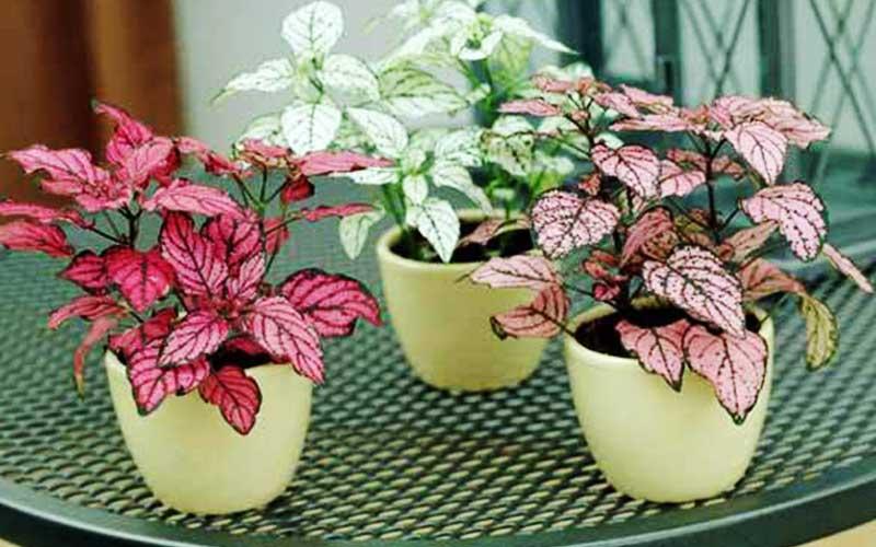 شرایط نگهداری گل سنگ در آپارتمان