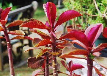 شرایط نگهداری گل فردوس (سینادنیوم گرانتی)