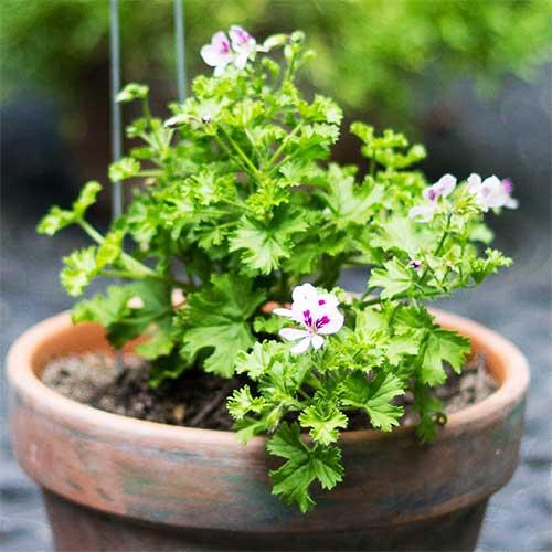 گیاه عطر چای