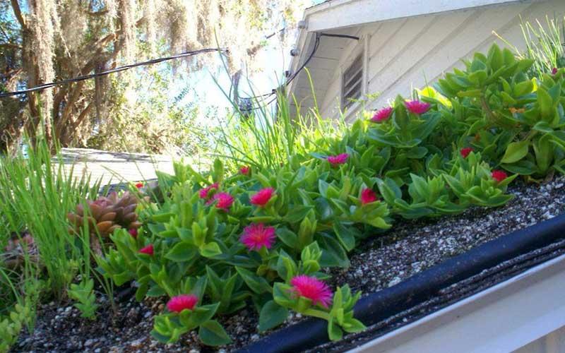گل ناز یخی گیاهی مقاوم در برابر سرما و گرما