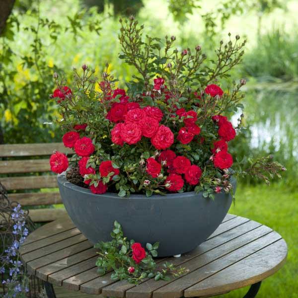 نگهداری گل ساناز در زمستا