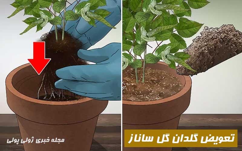 تعویض گلدان گل ساناز