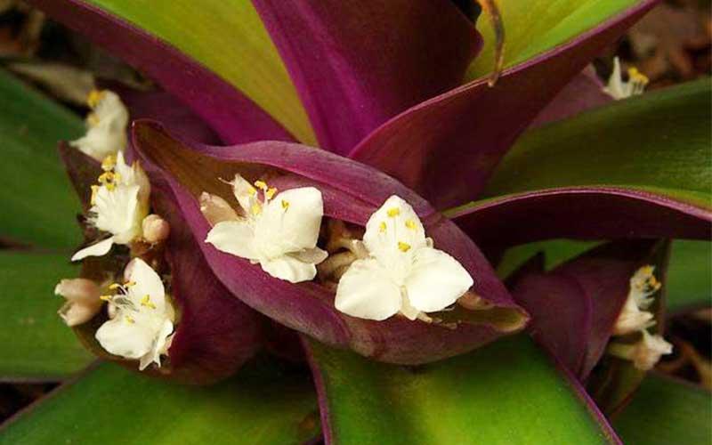 دلیل نامگذاری گل موسی در گهواره