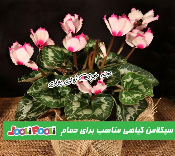 گل سیکلامن مناسب برای نگهداری در حمام