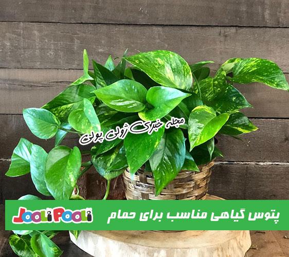 پتوس گیاهی مناسب برای نگهداری در حمام