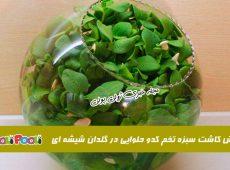 آموزش کاشت سبزه تخمه کدو برای عید+ سبزه عید با تخمه کدو حلوایی