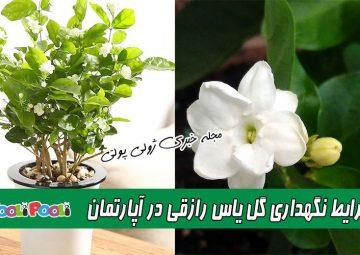 شرایط نگهداری یاس رازقی + نگهداری گل یاس رازقی در آپارتمان