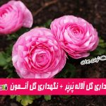 شرایط نگهداری گل آلاله