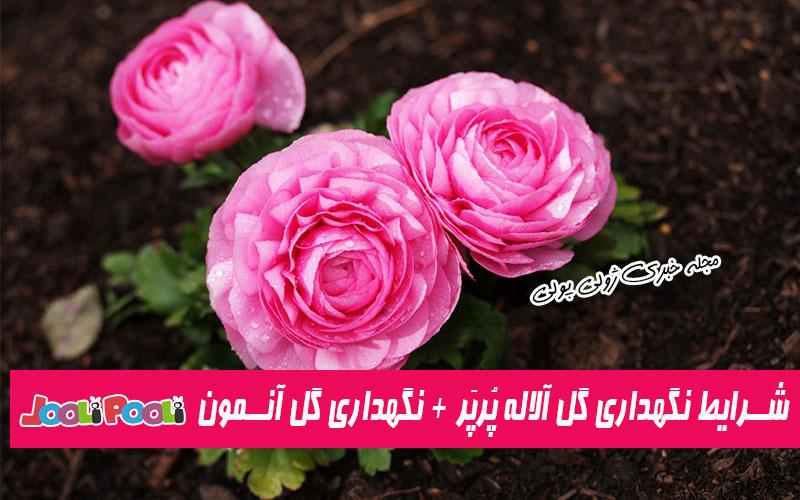 شرایط نگهداری گل آلاله در آپارتمان و باغچه+ شرایط نگهداری گل آنمون