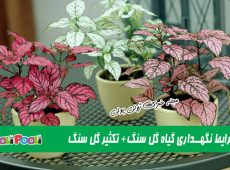 شرایط نگهداری گل سنگ در خانه+ نگهداری گل سنگ در تراریوم+ تکثیر گل سنگ