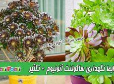 شرایط نگهداری گل آئونیوم سبز یا ناز بشقابی+ نگهداری ساکولنت آئونیوم بنفش و تکثیر