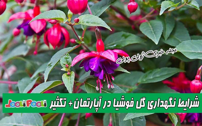 شرایط نگهداری گل فوشیا یا گل آویز در آپارتمان+ تکثیر، آفات و بیماریهای گل فوشیا