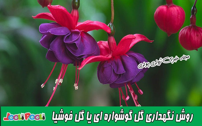 روش نگهداری گل فوشیا یا گل گوشواره ای