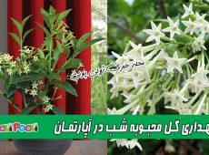 نگهداری گل محبوبه شب در آپارتمان+ پرورش و تکثیر گل محبوبه شب