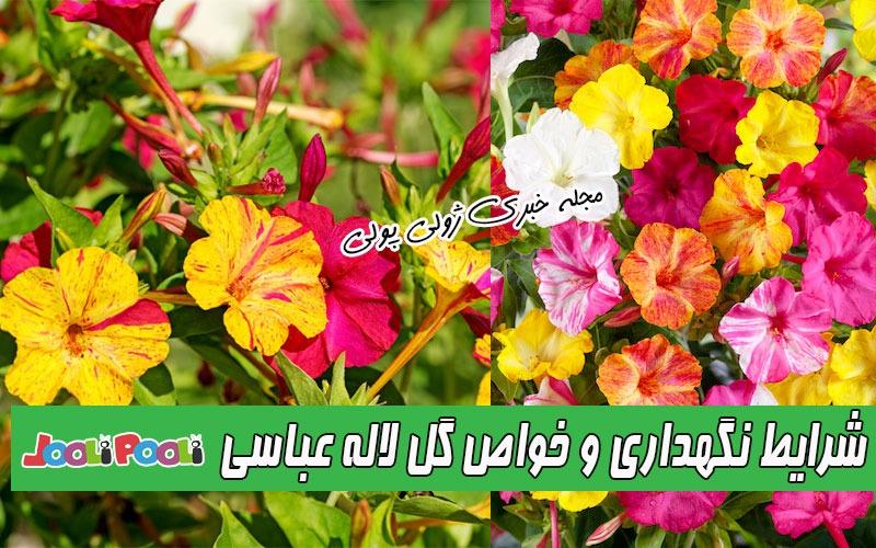 شرایط نگهداری و کاشت گل لاله عباسی+ تکثیر و خواص گل لاله عباسی