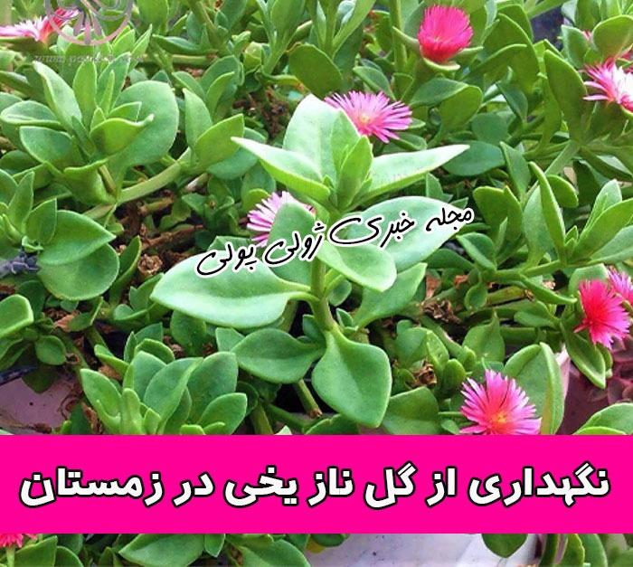 نگهداری از گل ناز یخی در زمستان