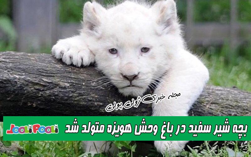 بچه شیر سفید در باغ وحش هویزه بدنیا آمد+ عکس