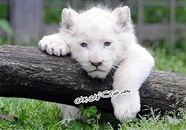 عکس بچه شیر سفید باغ وحش هویزه