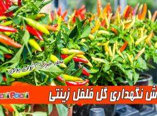 روش نگهداری فلفل زینتی+ تکثیر و پرورش گل فلفل زینتی در خانه و حیاط