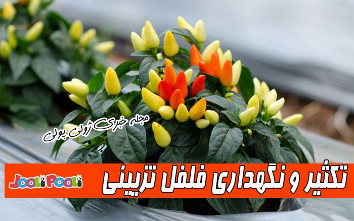 نگهداری گل فلفل تزیینی