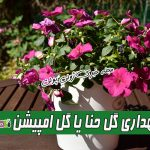 نگهداری گل حنا یا امپیشن