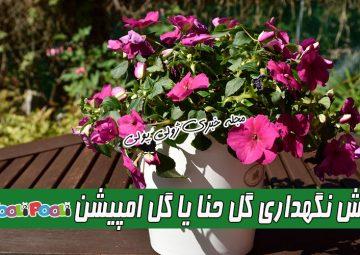 روش نگهداری گل حنا (امپیشن)+ تکثیر، آفات و بیماریهای گل حنا+ نگهداری گل سولماز
